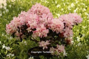 Rhododendron 'Ginny Gee'