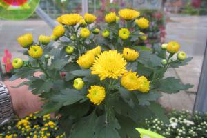 Chrysanthemen-49-20.JPG