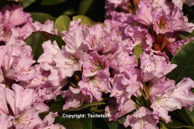 Rhododendron 'Dufthecke lila'